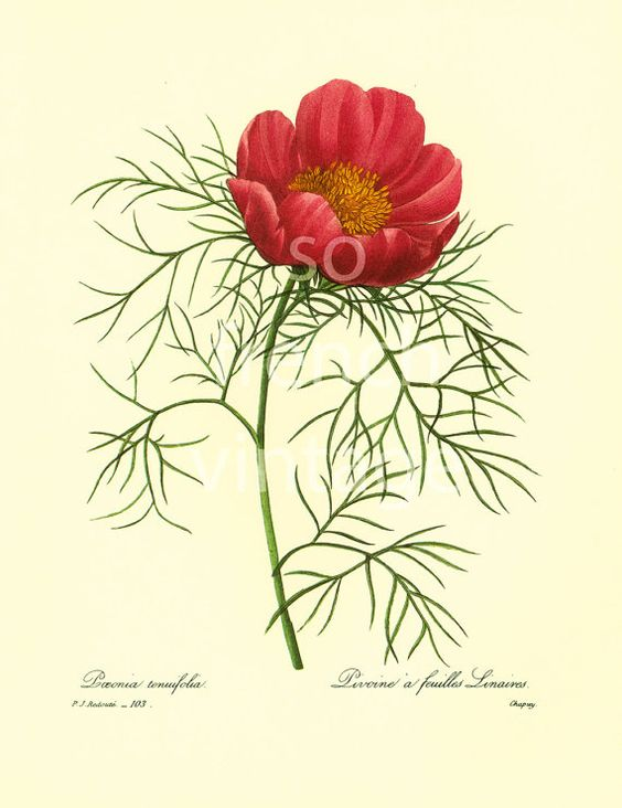 This print is taken from a french book published in 1983. Pierre- Joseph Redoute (1759 - 1840) was a French painter and botanist known for his watercolors of flowers and fr... ➡️ http://jto.li/pmpDe
