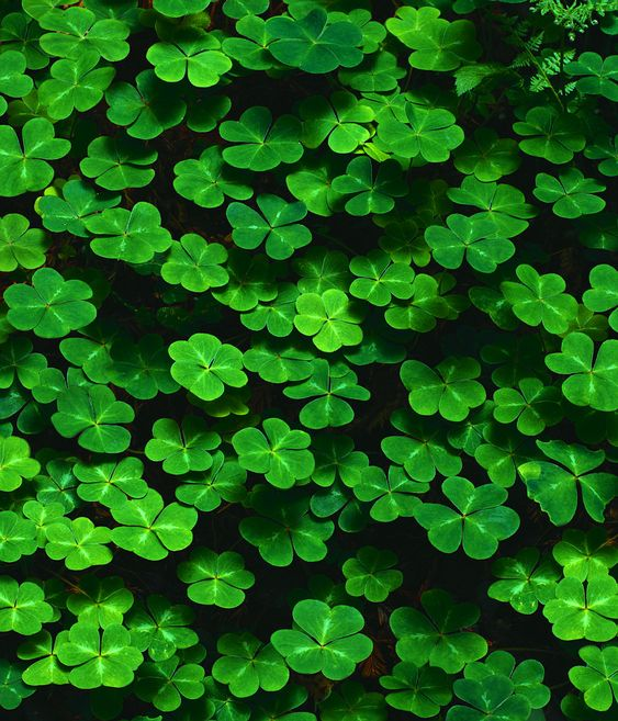 clover a delicious treat to plant for your desert tortoise...be sure you don't spray herbicides or pesticides in your tortoise habitat!