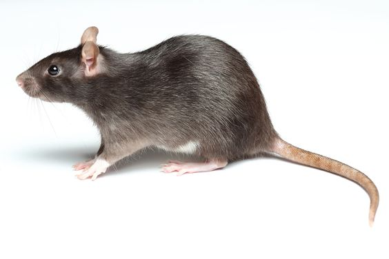 Weltraumstrahlung macht Ratten dümmer