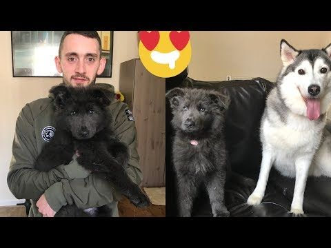 The Cutest Puppy In The World Rare Blue German Shepard