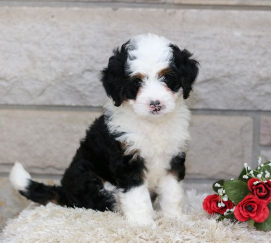 Handsome Minibernedoodle Puppies They Are Sweet And Energetic Buddies That Love To Play With Child In 2020 Bernedoodle Puppy Lancaster Puppies Mini Bernedoodle