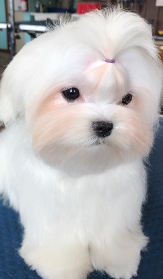 Very Beautiful Puppy Doggroomingdiy Maltese Maltese Haircut