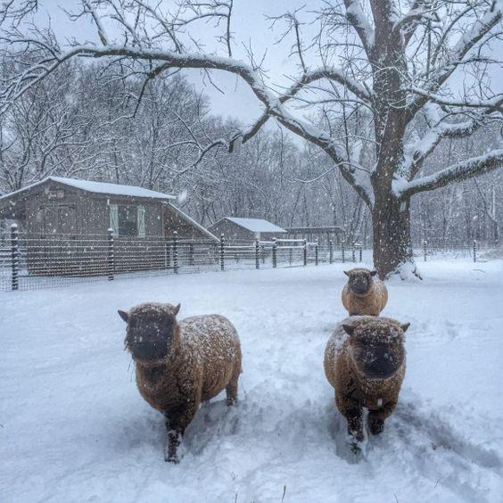 2-25-15 Snow at 1818 Farms babydoll sheep