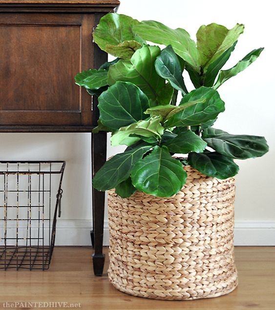 small indoor plants, best indoor plants, fiddle leaf fig plant