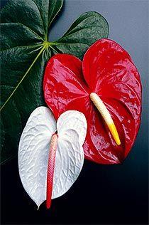 Cuadro de flores tropicales - Anturios