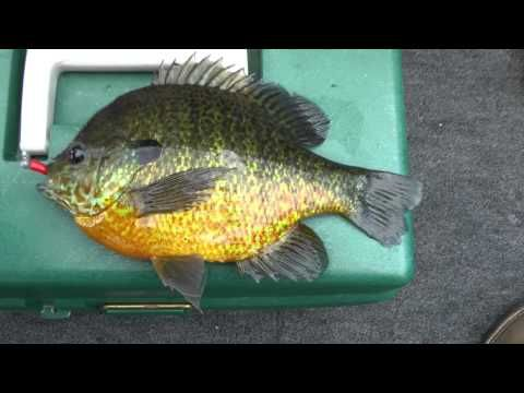 Look at the bait i used often overlooked lure no live for Bluegill fishing bait