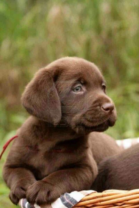 .Кутре кафяв лабрадор/ Choco lab puppy
