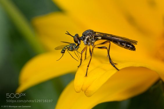 Robberfly with Prey by Moneycue