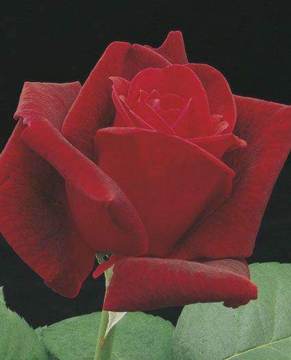Chrysler Imperial-A landmark rose that still hypnotizes people with a powerful rich rose fragrance and velvety red petals. The large full shapely flowers are proudly held atop straight stems clothed with dark matte-green leaves. Vigorous and at its happiest in hot temperatures. Best in warm temperatures.: