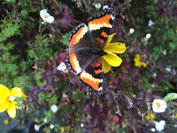 Fall butterfly Juneau AK 9.14