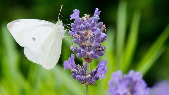 Gefährdete Schönheiten: Wo sind die ganzen Schmetterlinge geblieben?