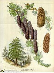 Himalayan Pine. Larix griffithii Hook.f. Flore des serres et des jardins de l'Europe v.12 (1857)