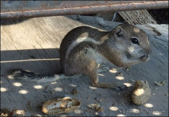 Giovanni the ground squirrel loves his peanuts!