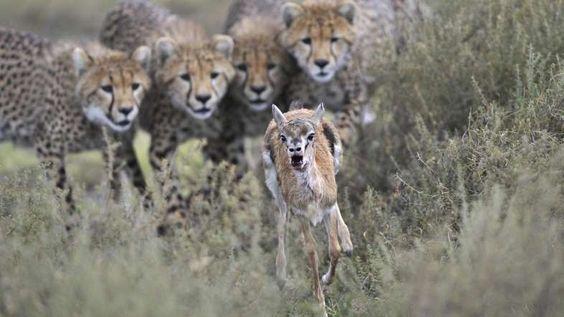 Los guepardos son los reyes de los 100 metros lisos. Pueden superar los 100 km/h en distancias corta... - Externa