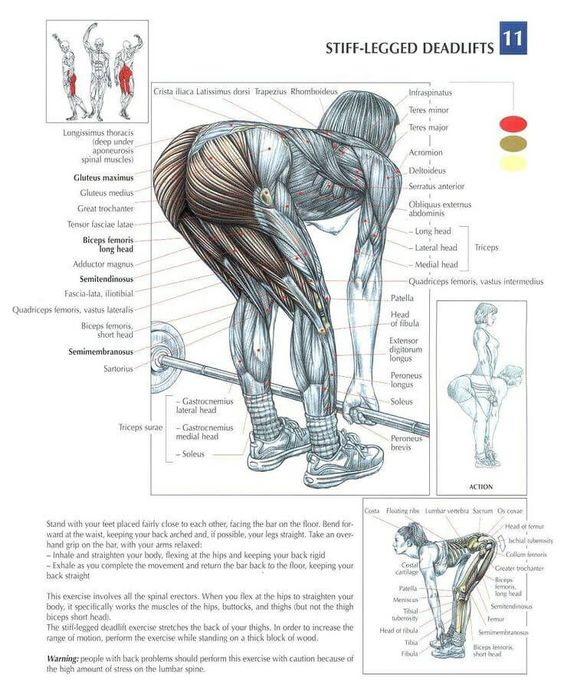 The ANATOMY of Stiff Leg Deadlift. The stiff-legged deadlift is a variation whereby the knees are only slightly bent and not moved during the exercise, comp: