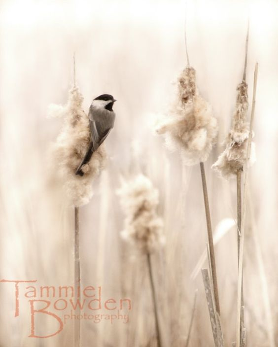 Chickadee in the Marsh  Original Photograph by TammieBowdenPhoto, $28.00: Autumn Natural, Autumn Creams, Autumn Fall, Autumn Whisper, Autumn Inspirations, Autumn No 1, A Faded Muted Autumn, Autumn Chickadee