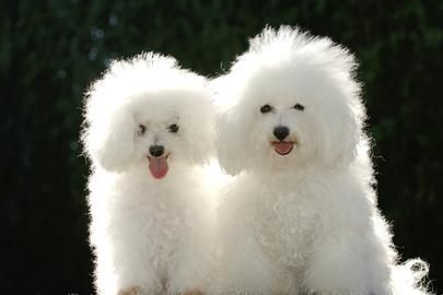Bichon - they're such lovable dogs