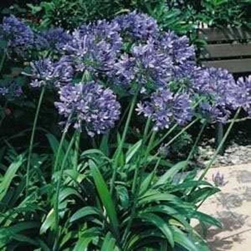 Outsidepride Lily Of The Nile Flower Seeds Outsidepride Lily Flower Seeds Flowers Perennials Plants