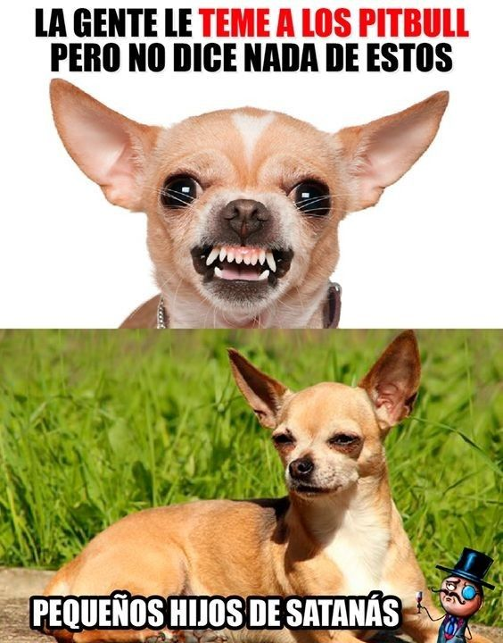 Pincher Memes De Perros Chistosos Memes Animales Memes De Animales Divertidos