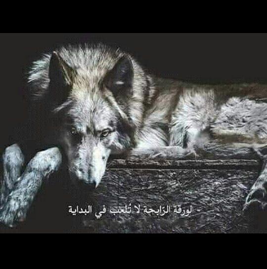 الذئب معاتبا الكلب يابن العم كيف وجدت بني البشر أجابه الكلب عندما يحتقرون انسانا منهم يصفونه بالكلب الذئب هل أكلت أبناءهم الكلب لا الذئب هل غدرت