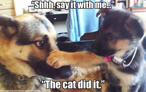 Sly German Shepherd pup!                                                                                                                                                      More