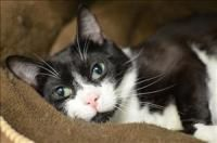 Patrick - Domestic Short Hair-black and white