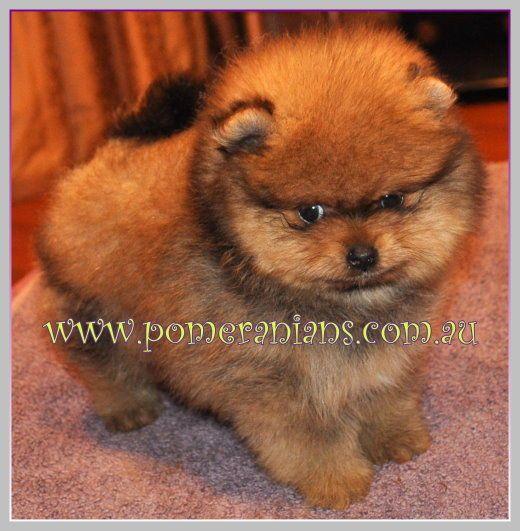 Orange Pomeranian Puppy Pomeranian Puppy Dog Facts Puppies