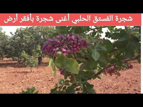 شجرة الفستق الحلبي كل ماتريد معرفته Youtube Plants Greenhouse Farm