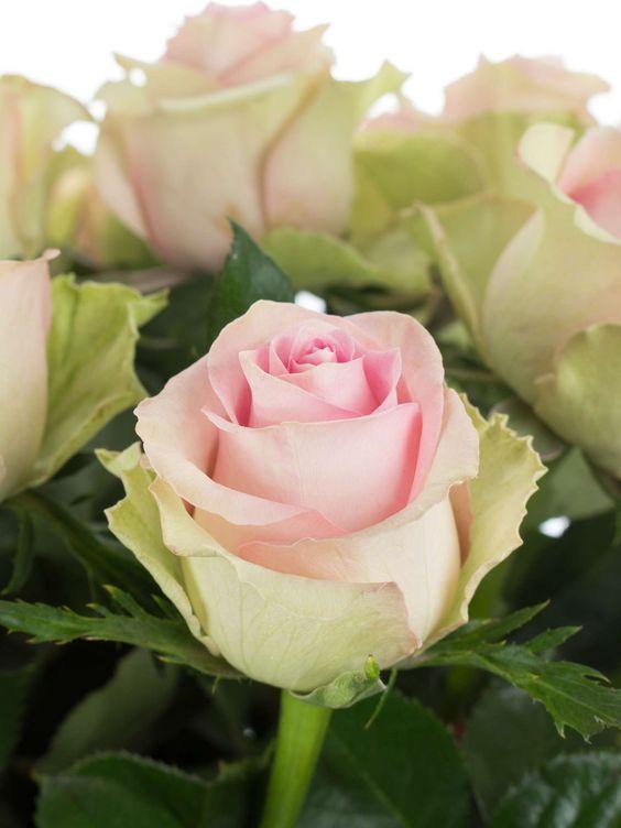 Rosen der Sorte 'Brigitte Bardto' in einem zarten Rosa - jetzt entdecken auf Blumigo.de! Ganzjährig Saison im Januar, Februar, März, April, Mai, Juni, Juli, August, September, Oktober, November und Dezember. #blumen #schnittblumen #hochzeit #hochzeitsblumen #hochzeitsdeko #weddingflowers #roses