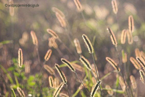 goldsommer, goldener sommermorgen, gräser im morgenlicht