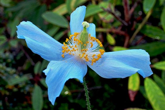 Tibetan blue poppy | Flickr - Photo Sharing!