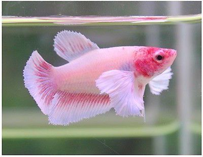 Live betta fish pink dumbo big ear female adorably for Big betta fish