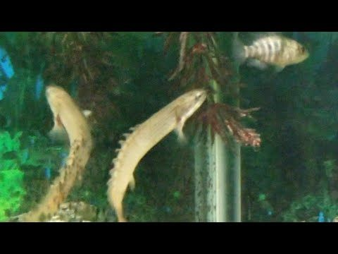 Juvenile Bichir Eating Bloodworms Youtube Rare Fish Fish Pet Fish Tank