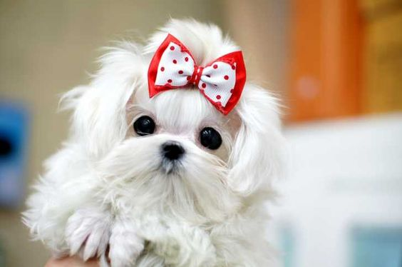 maltese | teacup maltese teacup maltese yorkie from korea female male full: