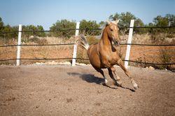 Pferderassen: Das Fjordpferd...