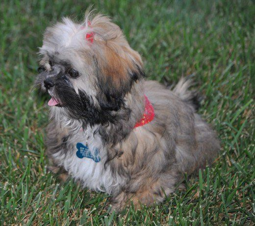 The 4 Easiest Small Dog Breeds To Housetrain With Images Dog Breeds That Dont Shed Dog Breeds Puppies