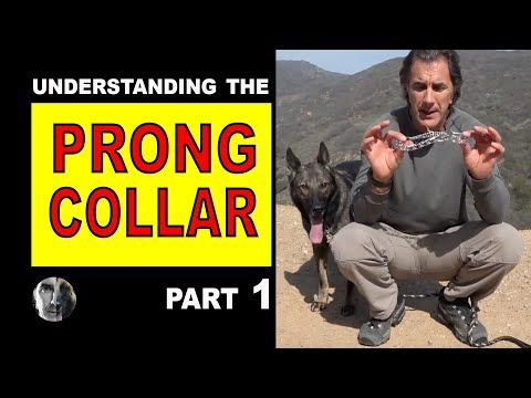 Prong Collar Explained 1 How To Use A Prong Collar Robert Cabral Dog Training Video Youtube Prong Collar Dog Training Dog Training Videos