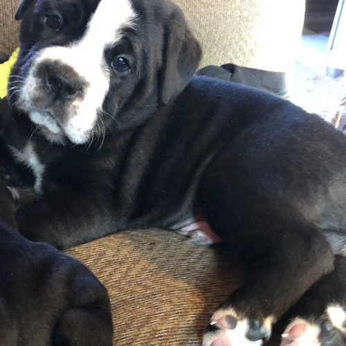 Snoopy 1 Ckc Old English Bulldog Puppy For Sale In Minneapolis Mn Vip Puppies In 2020 Bulldog Puppies Old English Bulldog Bulldog Puppies For Sale