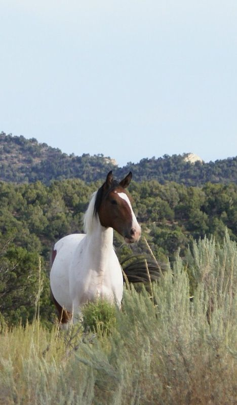 Pictures of the Wild Mustangs - Friendsofthemustangs.org