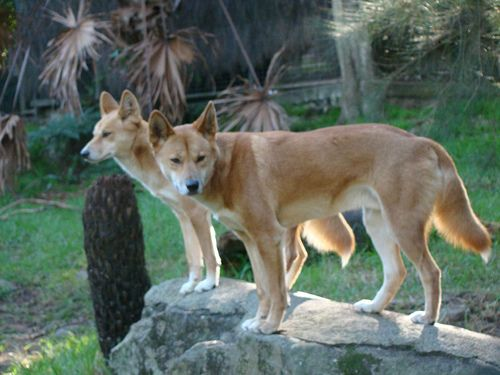 The American Dingo: What Is a Carolina Dog?