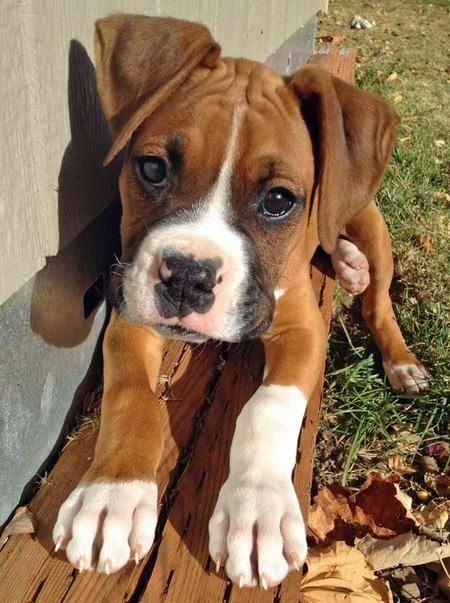 5 Dog Breeds For Single Women pups Pinterest Boxers