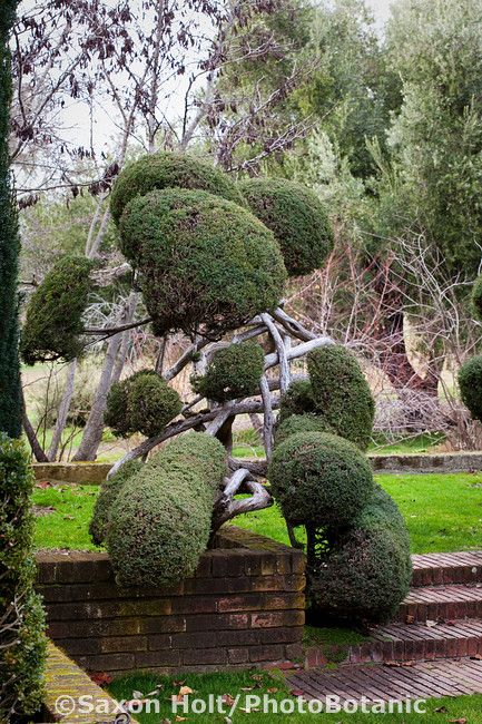 Poodles shrubs and evergreen on pinterest for Small decorative evergreen trees