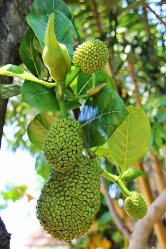 Sri Lanka. Jackfruit