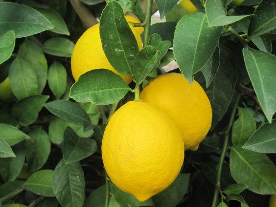 Meyer Lemon. One of the most cold tolerant lemons