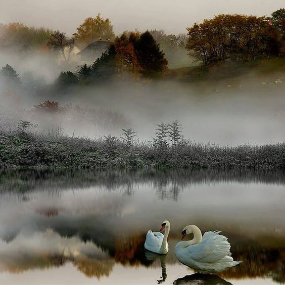 Swan Lake ....by Chian Tsun Hsiung