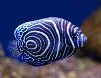 Koran Angelfish  Information - The Koran Angelfish Distribution - Australia, Indian Ocean, Red Sea, West Pacific Ocean. Size - 40 cm / 16 inches. The Semicirculatus or Koran Angelfish is found at depths less than 25 meters (82 ft.).