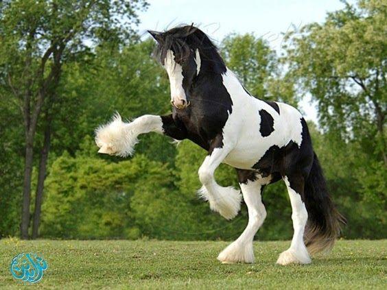 اليوم نعرض لكم أحدث صور حصان عربي اصيل 2019 و لاكن بالرغم من أشكالها وألوانها المختلفة تماما ولاكن سنوضح أشهرها مثل الحصا Clydesdale Horses Horse Breeds Horses