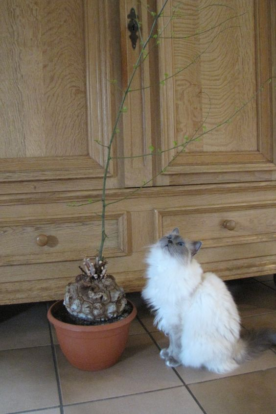 Dioscorea elephantipes, an interesting plant for our cat Daisey