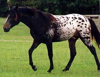 """Tiger horses are gaited, spotted horses with a coat color much like the Appaloosa. The tiger horse can exhibit various ambling gaits including various lateral gaits called the """"Glider Gait"""" or Indian shuffle, stepping pace, and running walk, as well as the diagonal Fox Trot. Registered horses must exhibit gaits without artificial aids and while flat-shod."""