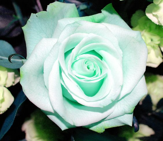 Mint Green Rose, nature knows what it's doing!